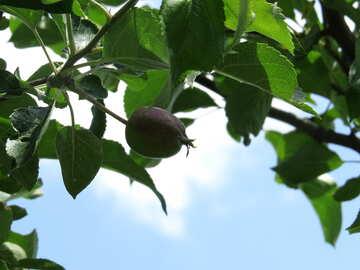 Green Apple №22894