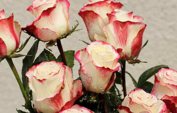 Rose tenero sfondo №22783