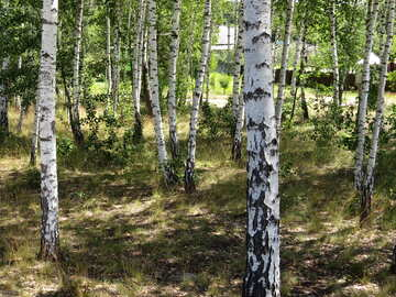 Birch trees near houses №22488