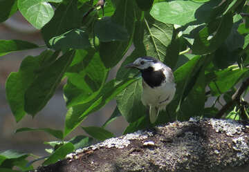 Wagtail bird №22900