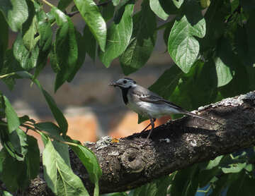 White wagtail bird №22901