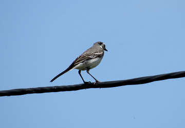 White Wagtail on blue background №22887