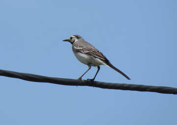 Wagtail on the wire №22886
