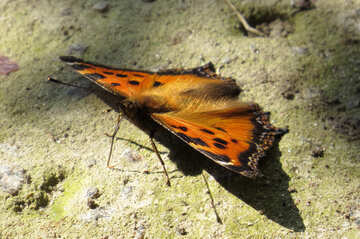 Butterfly of family Nymphalidae №22275