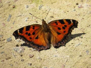 Fiery butterfly №22264