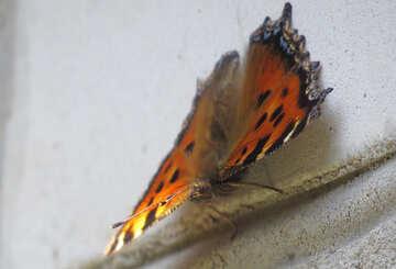 Butterfly lurking №22255