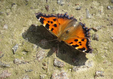 Butterfly with orange wings №22281