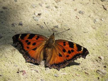 Butterfly rash №22270