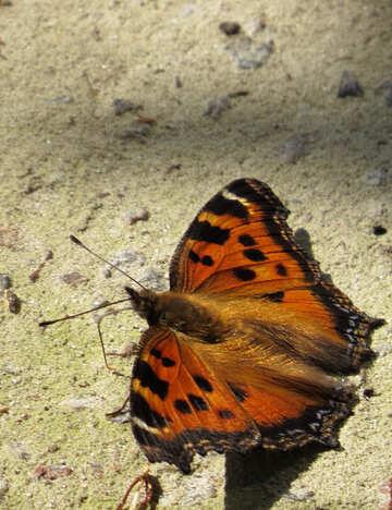 Butterfly rash №22271