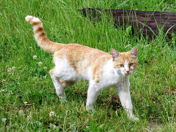 Young ginger cat №22407