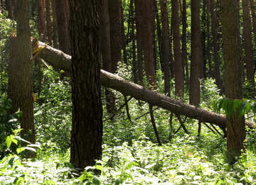 A fallen tree in the forest №22523