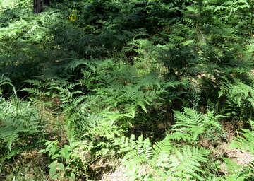 Ferns №22524