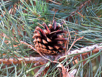 Pine cone on branch №22508