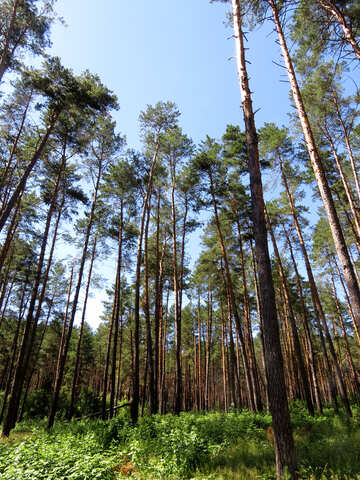 The pine forest in summer №22530