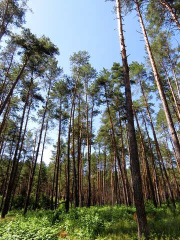 La foresta di pini in estate №22530