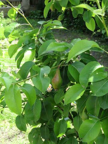 Green Pear №22891