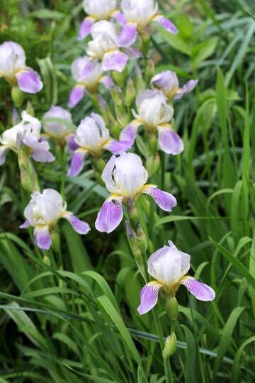 Meadow of blooming irises №22344