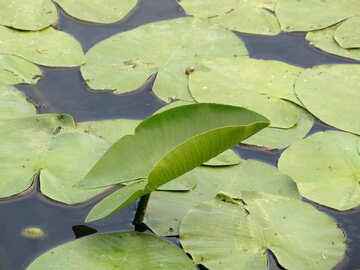 Die Blätter der Seerosen №22447