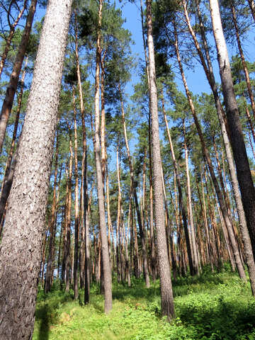 Huge pine trees №22527