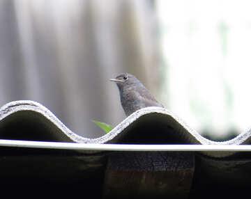 Redstart on the roof №22919