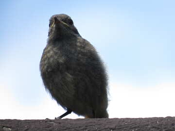 Chick redstart №22914