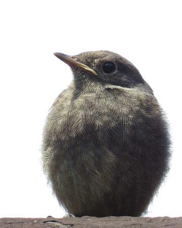 Chick №22917