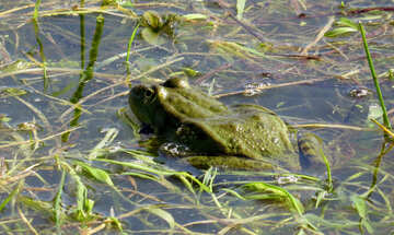 Body of the frog №22228