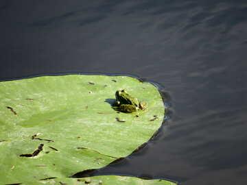 Frog on leaf №22233