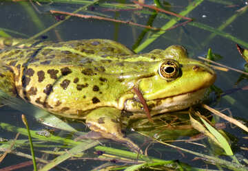 Frog in the pond №22218