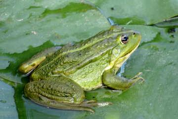 Simple frog №22242