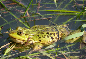 Spotted Frog №22217