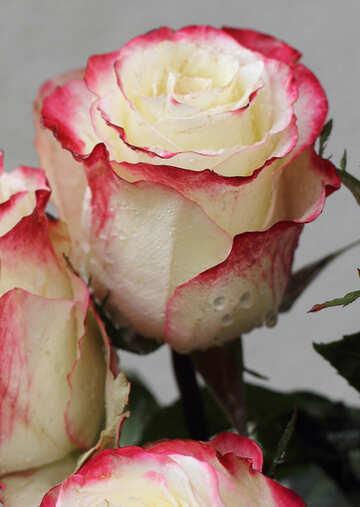 Rose №22772