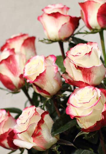 Elegante Rose №22788