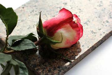 Rosa su pietra №22817