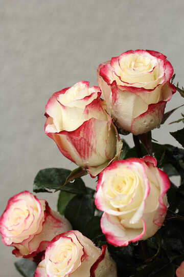 Rose №22770