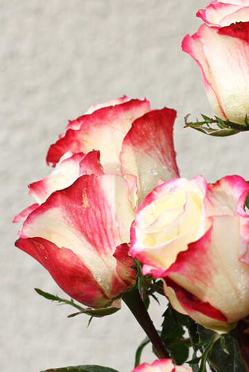Beautiful roses №22790