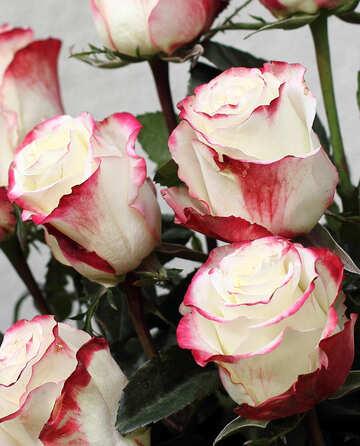Rose bicolor №22791