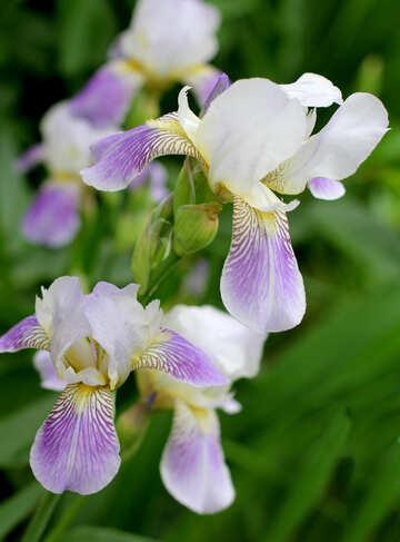 Blooming iris №22352