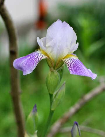 Iris №22363