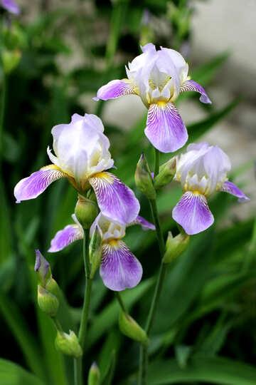 Iris flower №22357