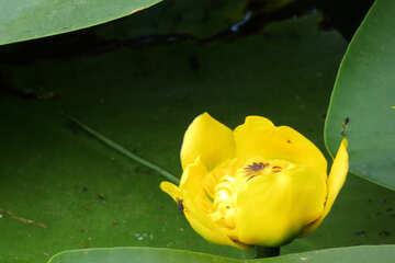 Potbelly yellow №22455