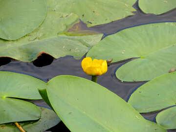 Fiume giallo fiore №22444