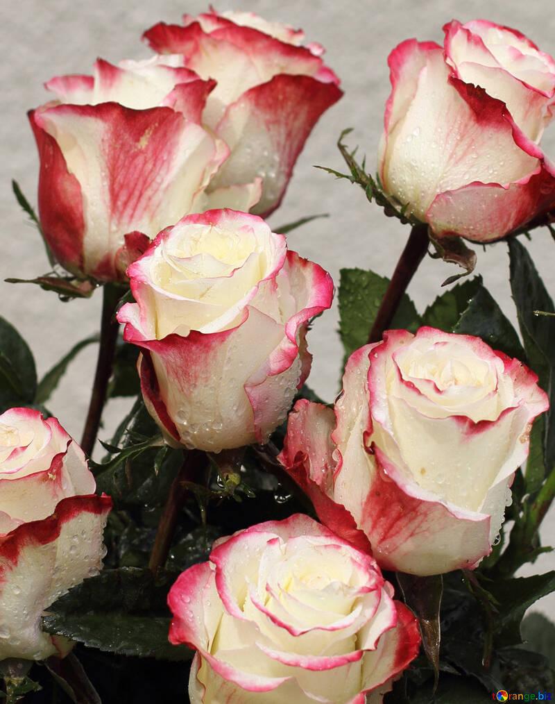 Rosa Bianca Sfondo Con Rose Rosa 22781