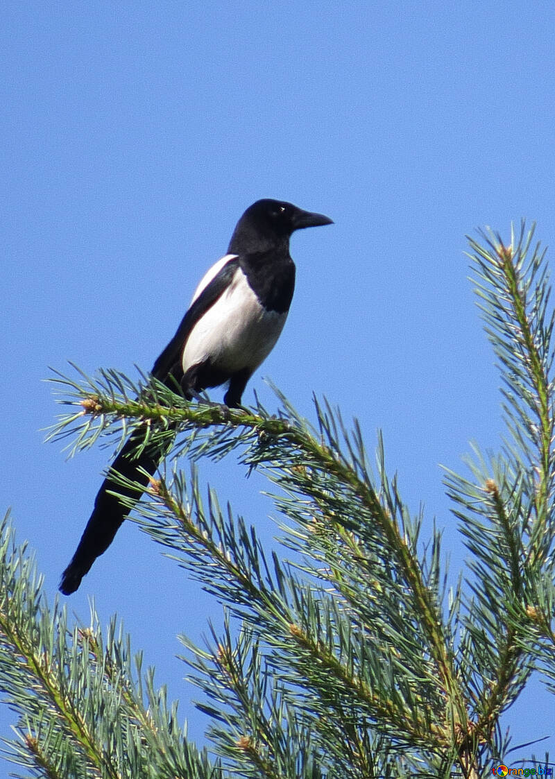 Magpie on branch №22963
