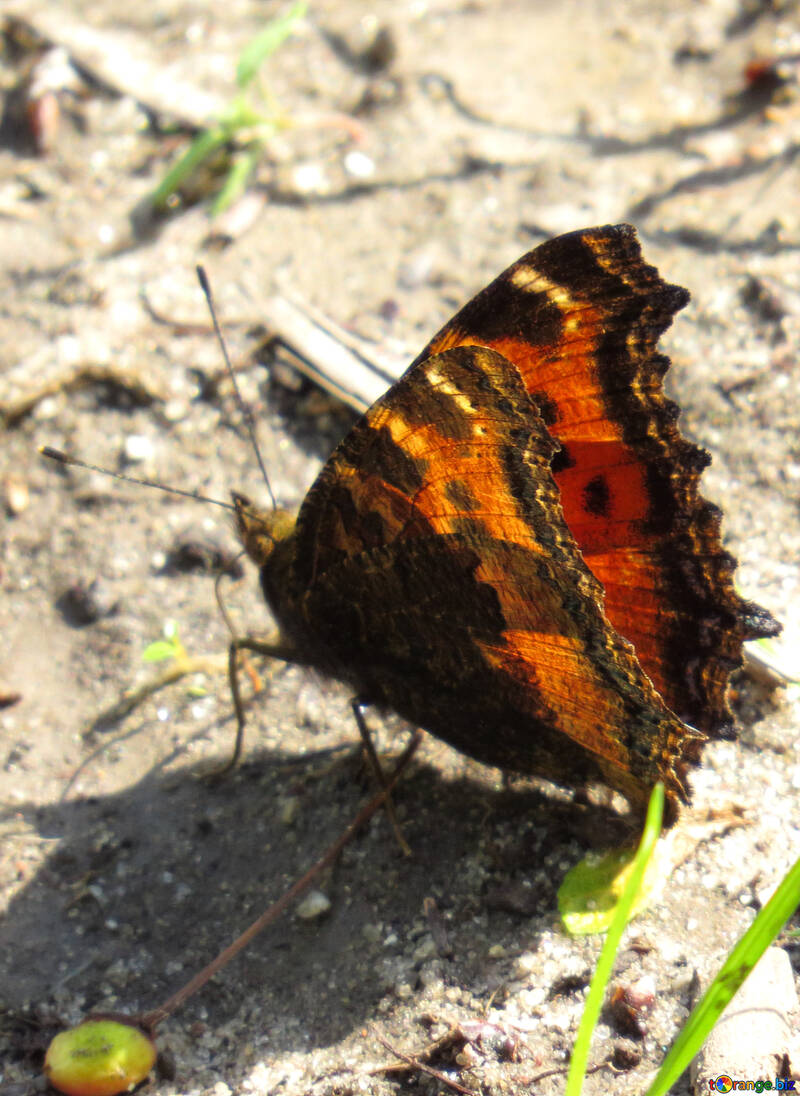 Butterfly on the ground №22262