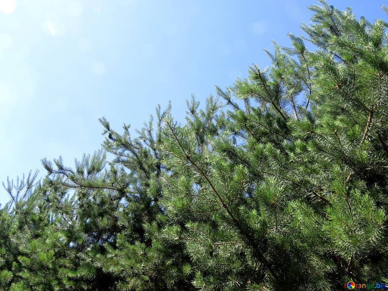 The young pine forest №22509