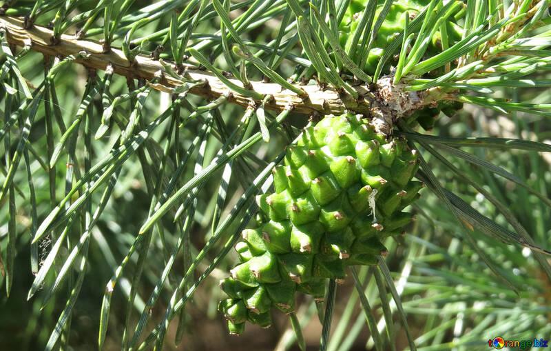 Pine cone on pine tree №22497