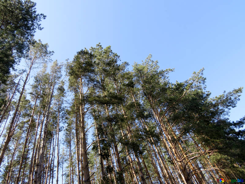Tall pine trees in the forest №22534