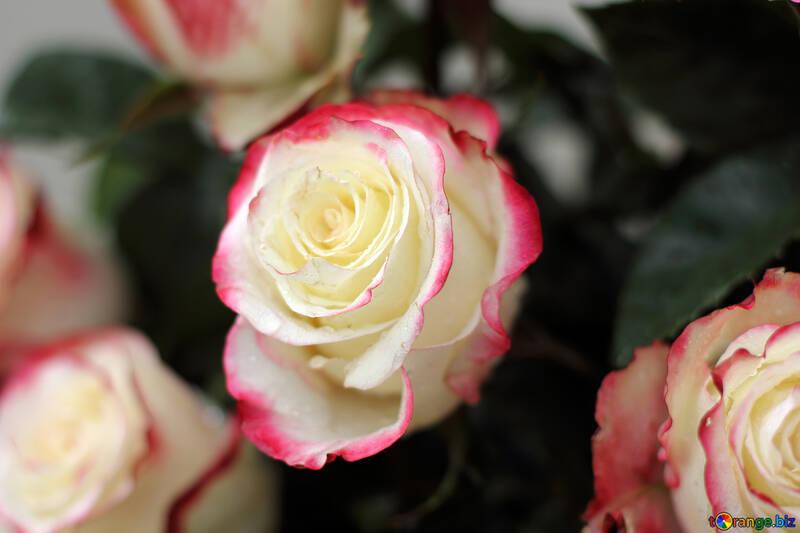 Roses on the desktop №22773