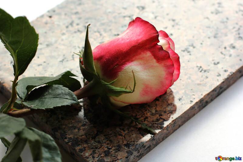 Rose sur Pierre №22817